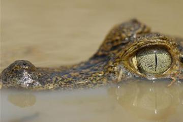Krokodillejagt tillades måske i Australien