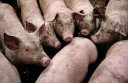 Råvildt dør måske af kobber i svinegylle