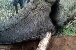 Elefantjægernes år