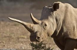 Bekymring over stigende krybskytteri på næsehorn