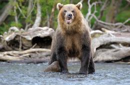 Elgjagt med en bjørn på