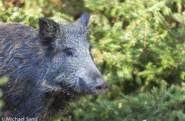 Jagt tungtvejende faktor i Ungarns skovregnskab