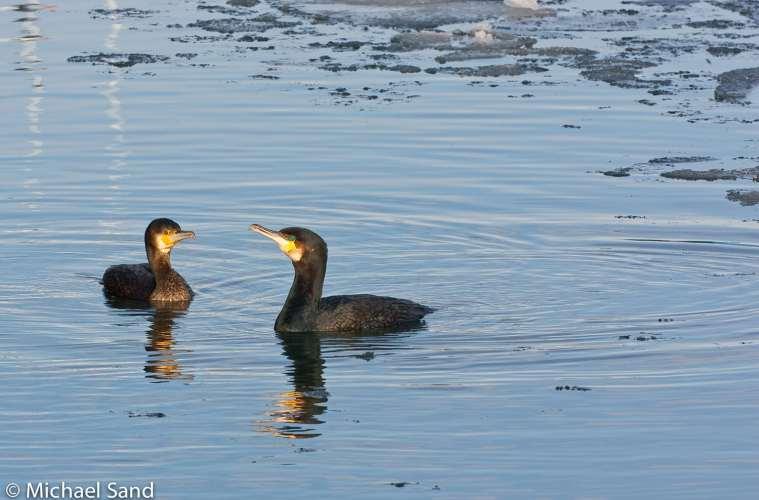 Skarven truer fiskebestanden i Skjern Å