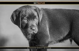 Labrador retriever - Danmarks jagthund nummer 1