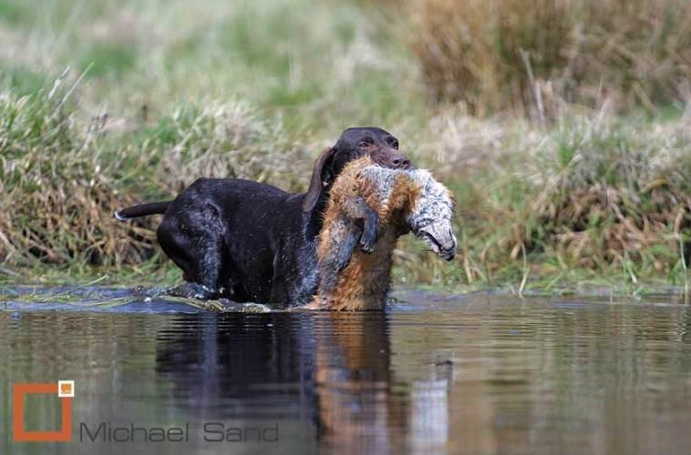 Jagthundens træning: Jagthunden på rævejagt