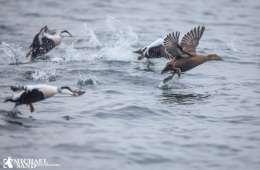 EU-plan skal stoppe bifangster af vandfugle