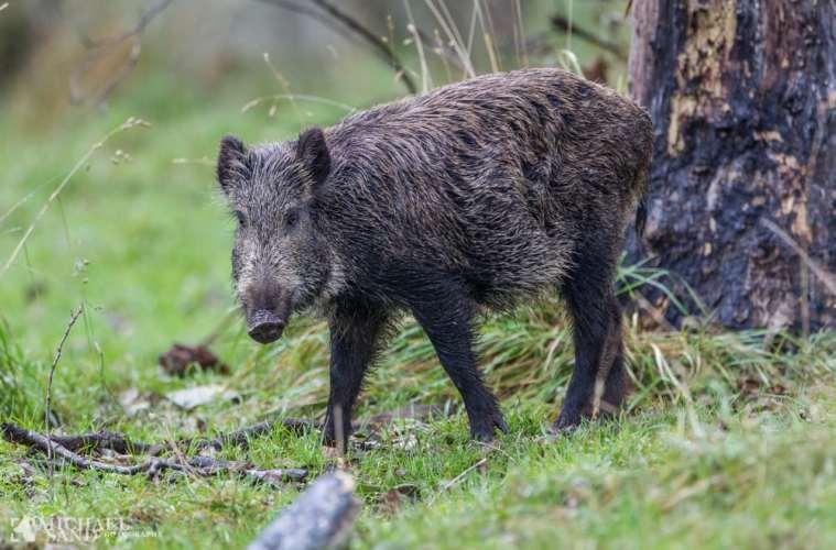EU udtrykker bekymring over vildsvinehegn