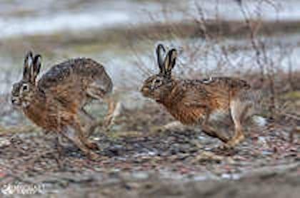 Færre ræve giver flere harer på Sjælland