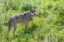 DNA bekræfter ulveangreb