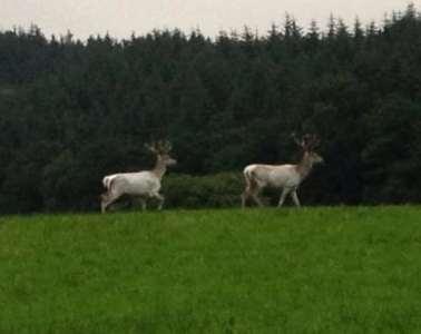 Fotos af de hvide krondyr i midtjylland