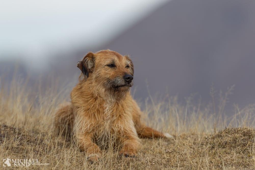 lov om hunde