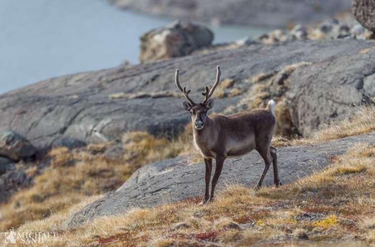 Jagt på rener og moskus starter snart i Grønland