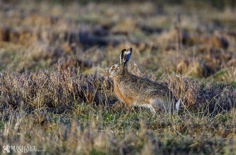 Harens særfredning i Vesthimmerland forlænges ikke