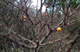 Kend dine vildtplanter: Havtorn
