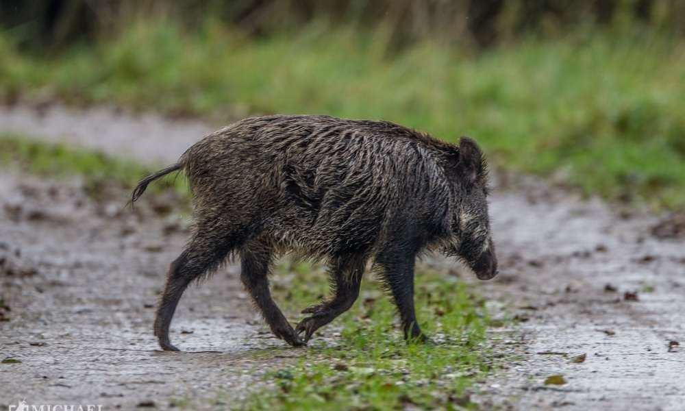 DN efterlyser forvaltningsplan for vildsvinet