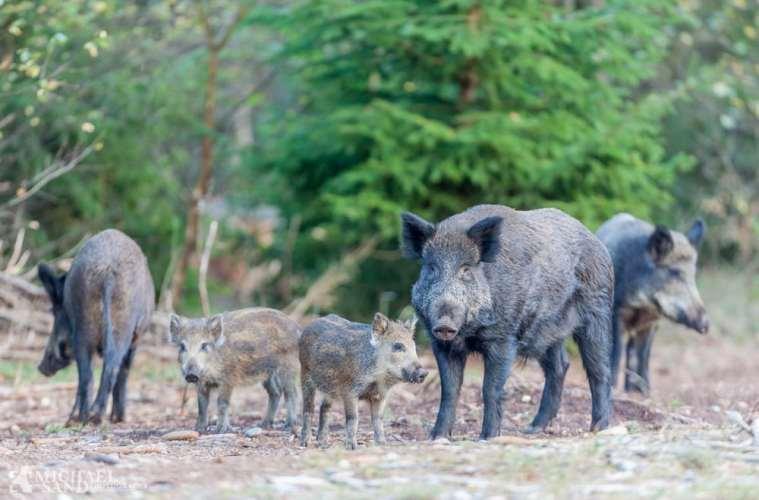 Belgiens vildsvinebestand ude af kontrol