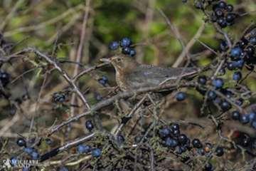 Kend dine vildtplanter: Slåen - både til fugle og til snaps