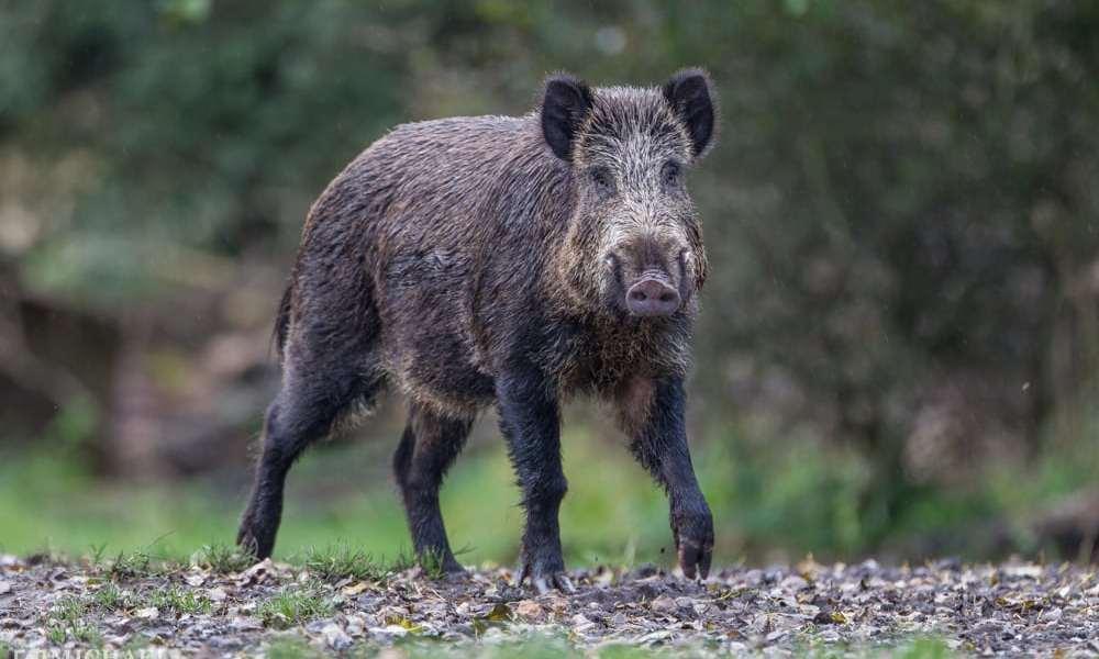 Bonn indfører jagt på truende vildsvin