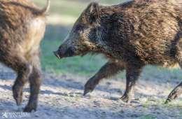 Svineproducenter foreslår vildthegn på tværs af den dansk/tyske grænse
