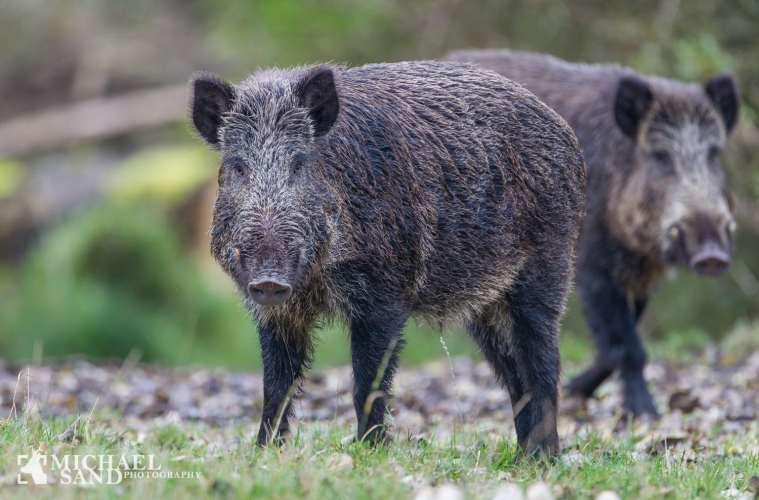 EU kommissionens svar til NETNATUR: Dansk vildsvinebekæmpelse ER lovlig