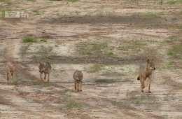 Fantastisk dokumentarfilm om de tyske ulve VIDEO