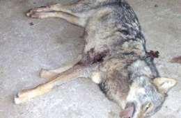 Dræbt ulv har sandsynligvis siddet i bur