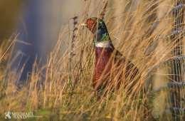 Jægerforbundet blander sig i debat om fasanudsætning