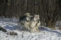Antallet af ulve i Danmark er stigende