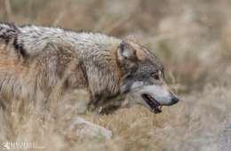 Tredje ulvezone i Idaho lukket for jagt