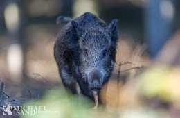 Vildsvinet - uønsket i Danmark, men fortsat i stigning