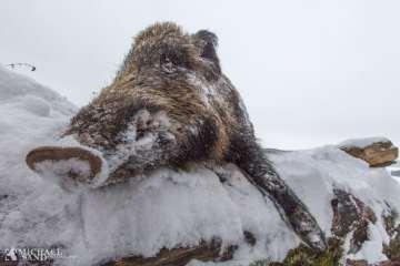 VIDEO Jagtgolden i aktion mod godt 100 kg keiler