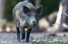 Vildsvin angriber teenager