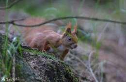 Har du tjek på det danske egern?