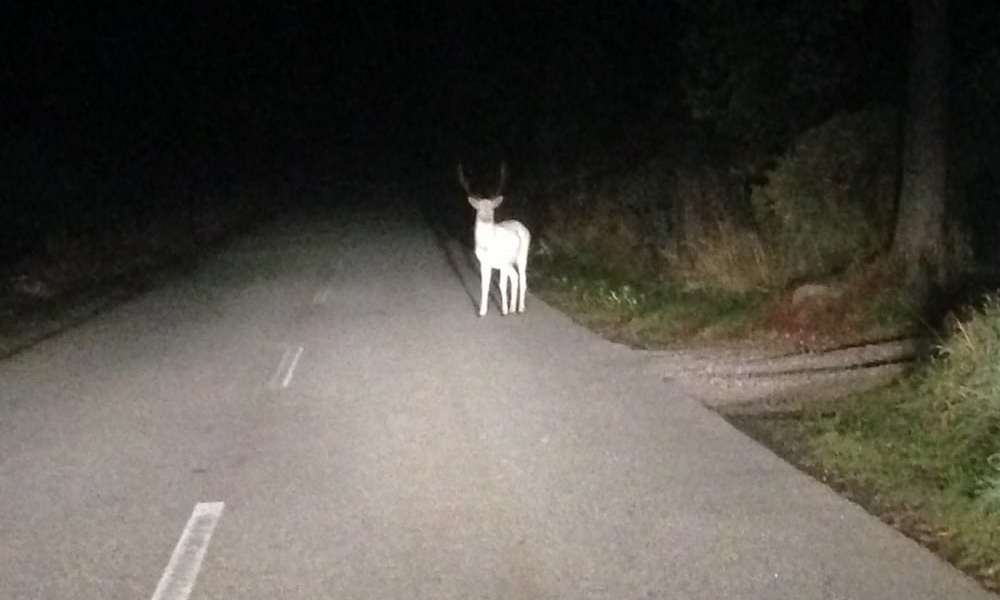 Spøgelseshjort krydser hegnet motorvej