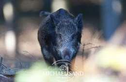 Jægere under pres i vildsvinepolitik