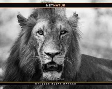 Løvejæger frifundet for anklage om ulovlig jagt