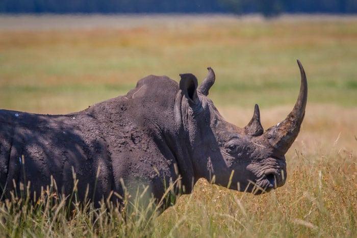 Handel med horn fra næsehorn lovliggøres