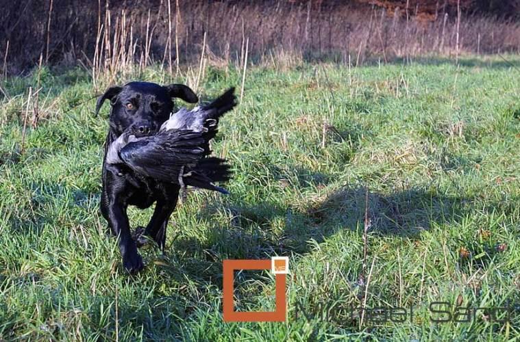Jagthundens træning: Jagthunden på kragejagt