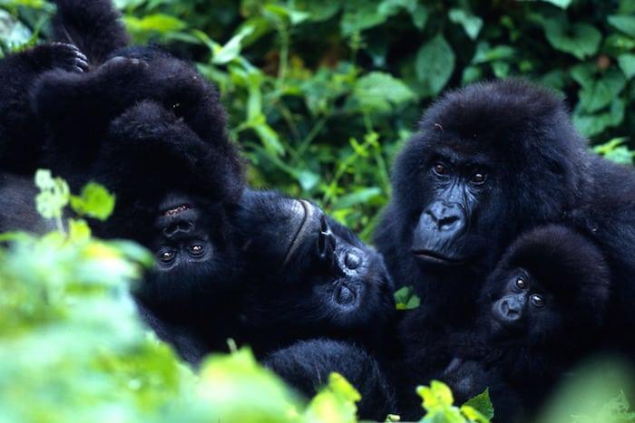 EU vil hjælpe Virunga Nationalpark
