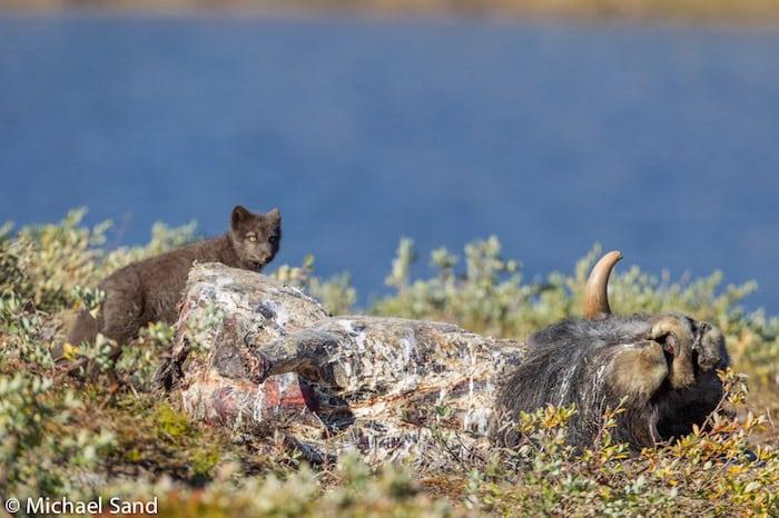Grønland: Rabiesramte ræve