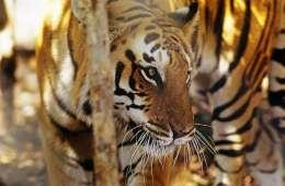 Antallet af vilde tigre stiger