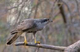 Duehøgen - skovenes grå eminence