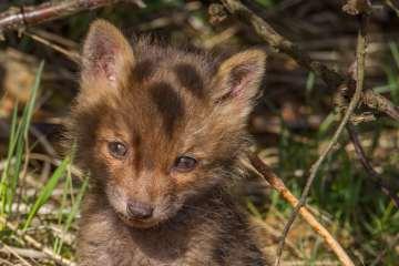 Naturen netop nu: Ræven får hvalpe