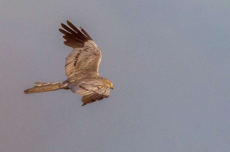 Fuglefotografer truer sjældne rovfugle