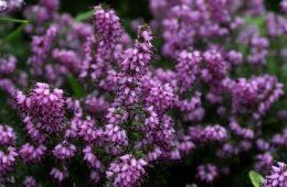 Masser af blomstrende lyng på hederne