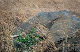 Afrikas elefant-bestand faldet med 111.000 på 10 år