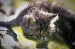 Katte skal redde den truede tiger