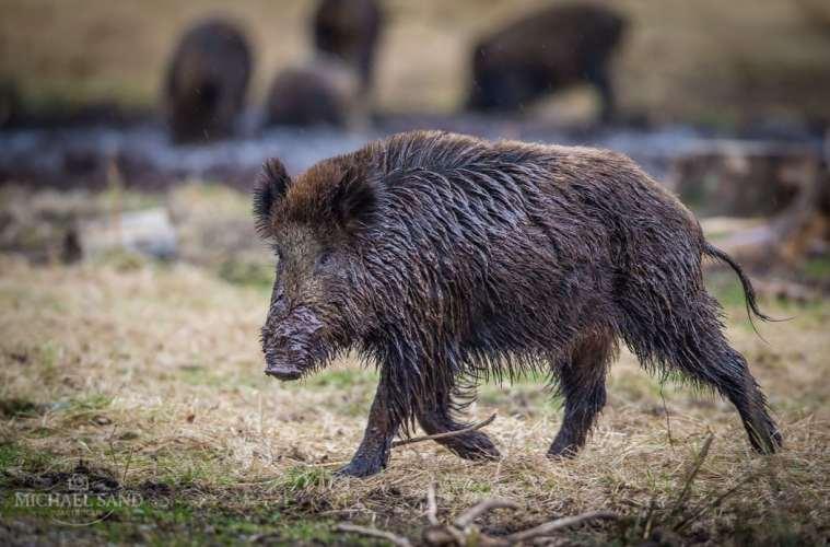 Professor efterlyser vildsvineplan