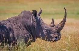 Ulovlig handel med næsehorn afdækkes med skjult kamera