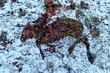 Drivjagt på råvildt i snevejr